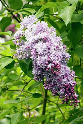Alphonse Photograph - Syringa 'alphonse Lavallee' Flowers by Adrian Thomas