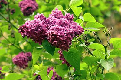 Cultivar Photograph - Syringa Vulgaris 'hugo De Vries' Flowers by Adrian Thomas