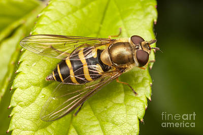 Photograph - Syrphus Flower Fly I by Clarence Holmes