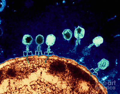 Biology Photograph - T-bacteriophages And E-coli by Eye Of Science