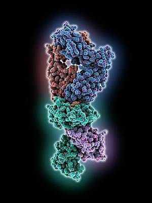 A2 Photograph - T Cell Receptor B7 Molecule by Laguna Design