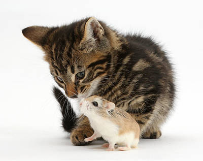 Hamster Baby Photograph - Tabby Kitten And Hamster by Mark Taylor