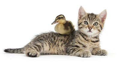 Mallard Ducklings Photograph - Tabby Kitten With Mallard Duck by Mark Taylor