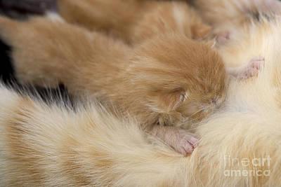 Pet Care Photograph - Tabby Kittens Nursing by Jean-Michel Labat