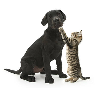 Lab Pup Photograph - Tabby Male Kitten & Black Labrador by Mark Taylor
