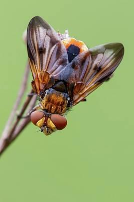 Tachinid Fly Art Print