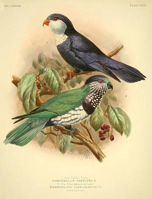 Parakeet Painting - Tahiti Lory by Dreyer Wildlife Print Collections