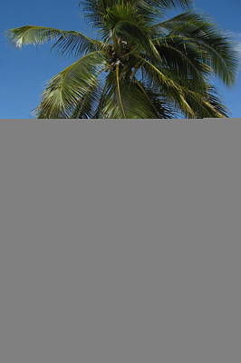Photograph - Tahiti Palm Tree by Denise Mazzocco