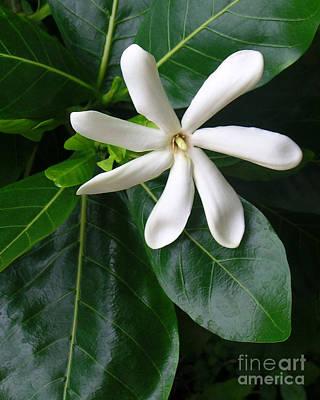 Gardenia Photograph - Tahitian Tiare by James Temple