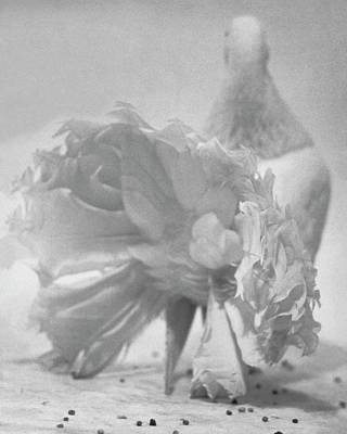 Photograph - Tail Feathers Of A Pigeon by Erwin Blumenfeld