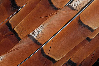 Pheasant Photograph - Tail Feathers Of Copper Pheasant by Darrell Gulin