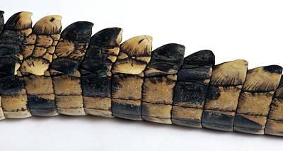 Tail Of A Young Nile Crocodile Art Print