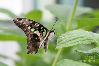 Tailed Jay Butterfly #3 Art Print