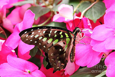 Tailed Jay Butterfly #4 Art Print