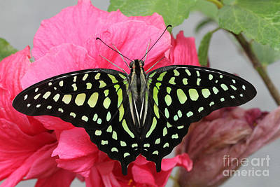 Art Print featuring the photograph Tailed Jay Butterfly #6 by Judy Whitton