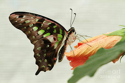 Animal Photograph - Tailed Jay Butterfly #7 by Judy Whitton