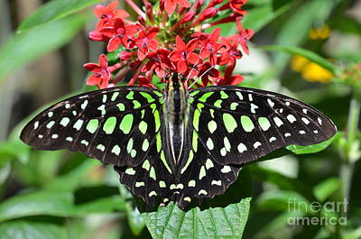 Photograph - Tailed Jay Butterfly by AnnaJo Vahle