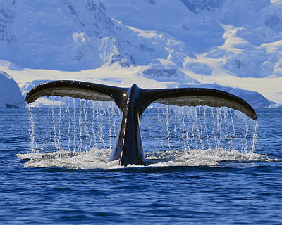 Photograph - Tails From Antarctica by Tony Beck