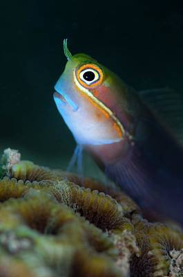 Spotted Tail Photograph - Tailspot Blenny On Hard Cora by Scubazoo