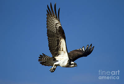 Osprey Photograph - Take Flight by Mike  Dawson