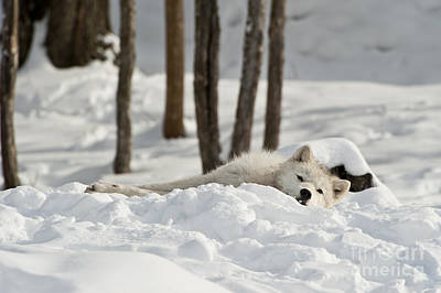 Photograph - Taking A Break by Wolves Only