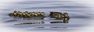 Baby Mallards Photograph - Taking A Swim by Thomas Young