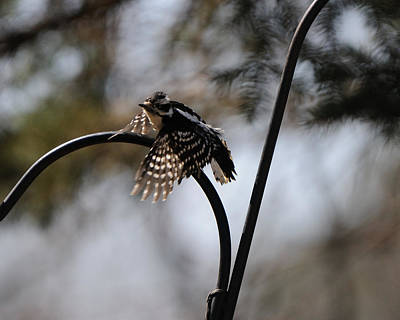 Hairy Woodpecker Photograph - Taking Flight by Scott Angus