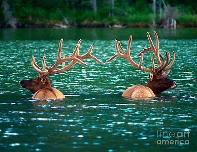 Photograph - Talbot Lake Elk by Terry Elniski