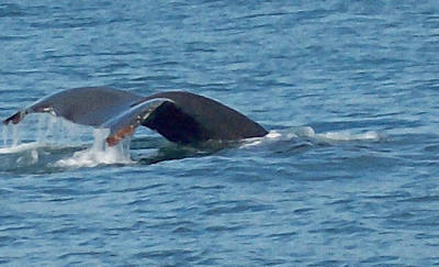 Photograph - Tale Of A Whale by Aimee L Maher Photography and Art Visit ALMGallerydotcom