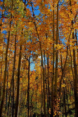 Photograph - Tall Aspens by Trent Mallett