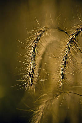 Photograph - Tall Grass Summer's End by Roger Passman