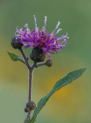 Photograph - Tall Ironweed by Jim Zablotny