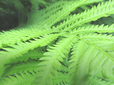 Photograph - Tall Lady Fern Fine Art Print Green Summer Photograph By Penny Hunt by Penny Hunt