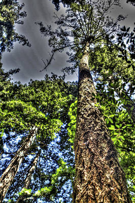 Photograph - Tall Perspective Henry Cowell Redwoods State Park by SC Heffner