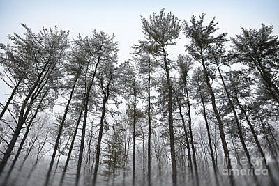 Tall Snow Covered Trees Art Print by Sharon Dominick