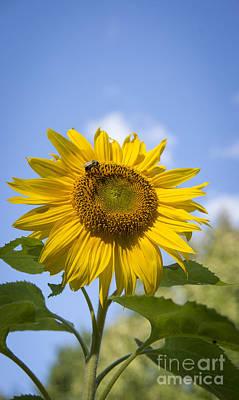 Photograph - Tall Sunflower by Alana Ranney