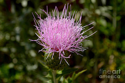 Photograph - Tall Thistle by Derry Murphy