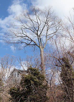 Photograph - Tall Tree by Bob Slitzan