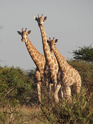 Photograph - Tall Trio by Bruce W Krucke