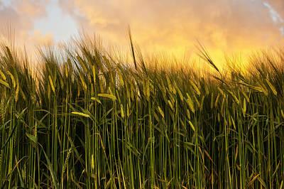 Tall Wheat Art Print by Svetlana Sewell