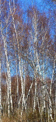 Photograph - Tall White Birches by Anne Cameron Cutri