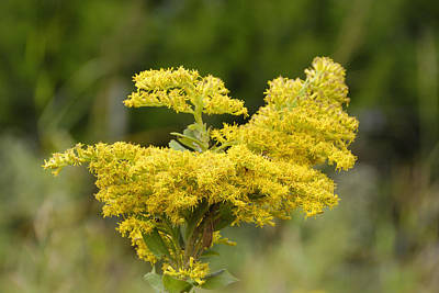 Photograph - Tall Yellow Goldenrod by Charles Beeler