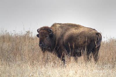 Photograph - Tallgrass Prairie Buffalo by David Cutts