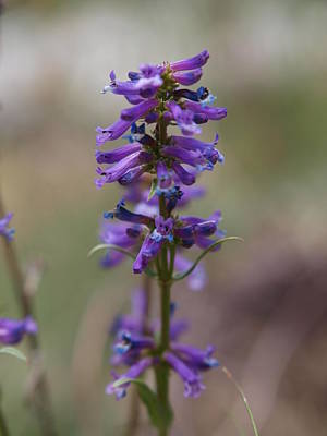 Photograph - Talus Penstemon by Jenessa Rahn