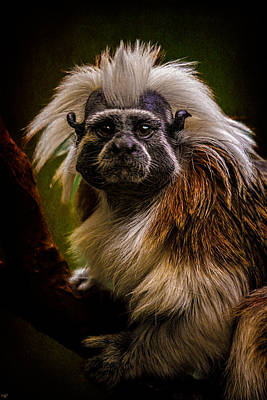 Photograph - Tamarin by Chris Lord