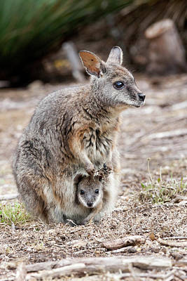 Kangaroo Photograph - Tammar Wallaby (macropus Eugenii by Martin Zwick