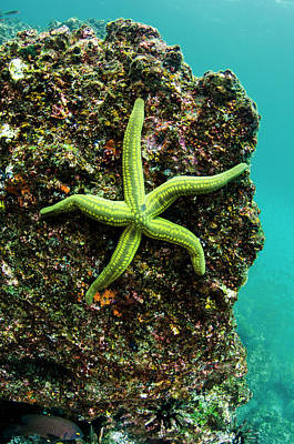 Tan Sea Star (phataria Unifascialis Art Print by Pete Oxford