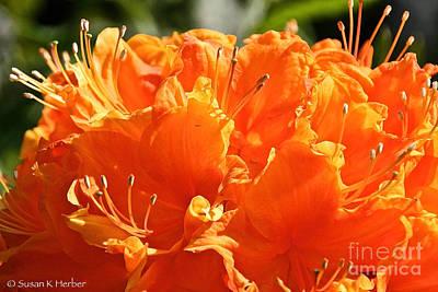 Photograph - Tangerine Azalea by Susan Herber