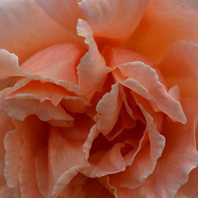 Photograph - Frilly Tangerine Rose  by Cheryl Miller