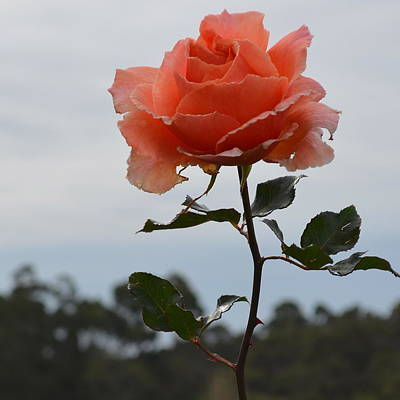 Photograph - Tangerine Rose by Cheryl Miller